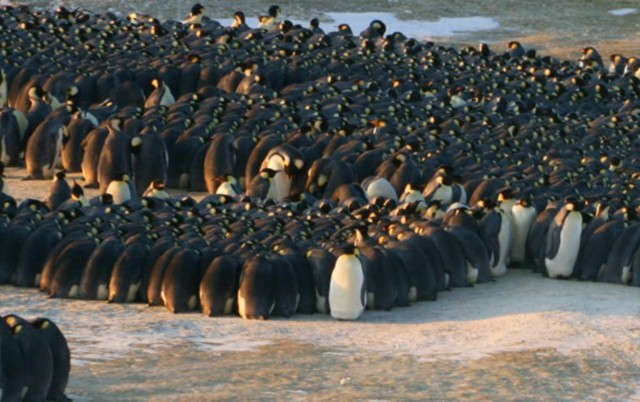 1387194093_original_pingviinit.jpg