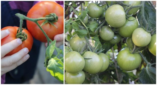 tomaatti%202.2.jpg