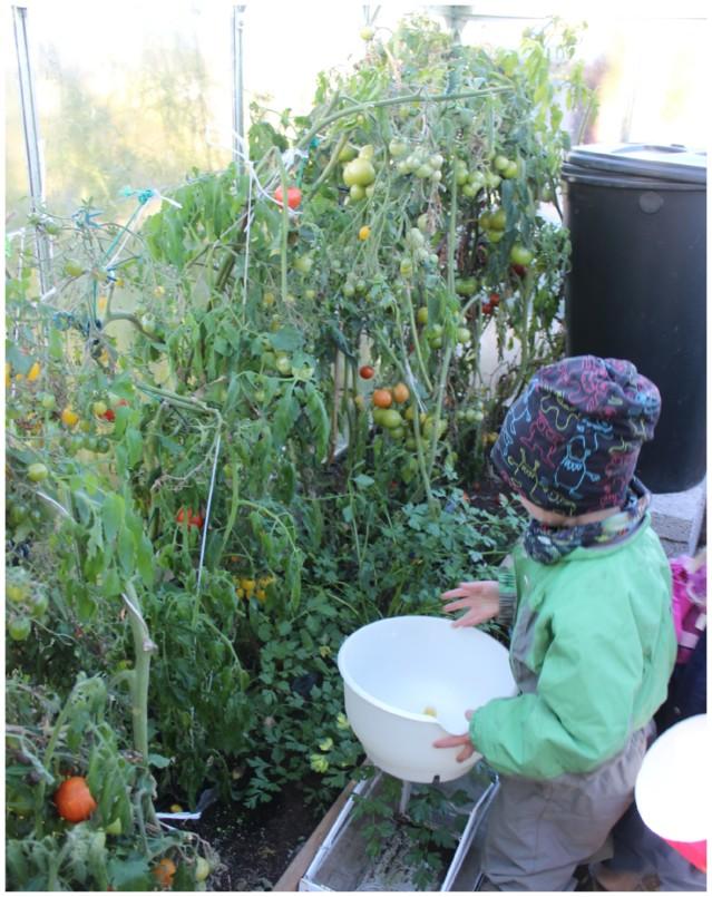 tomaatti%202.1.jpg