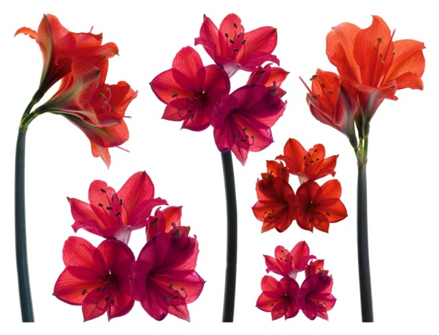Self-Adhesive-Amaryllis-Wall-Stickers-Me