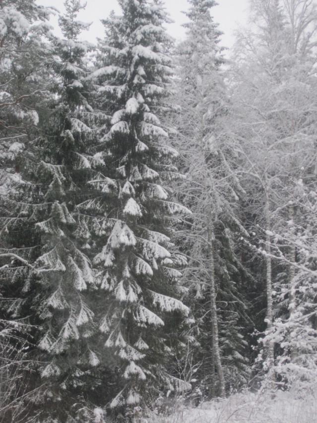 Lumisia%20kuusia%20006.jpg