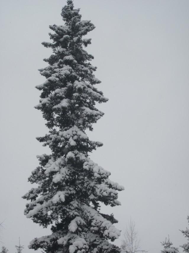 Lumisia%20kuusia%20008.jpg