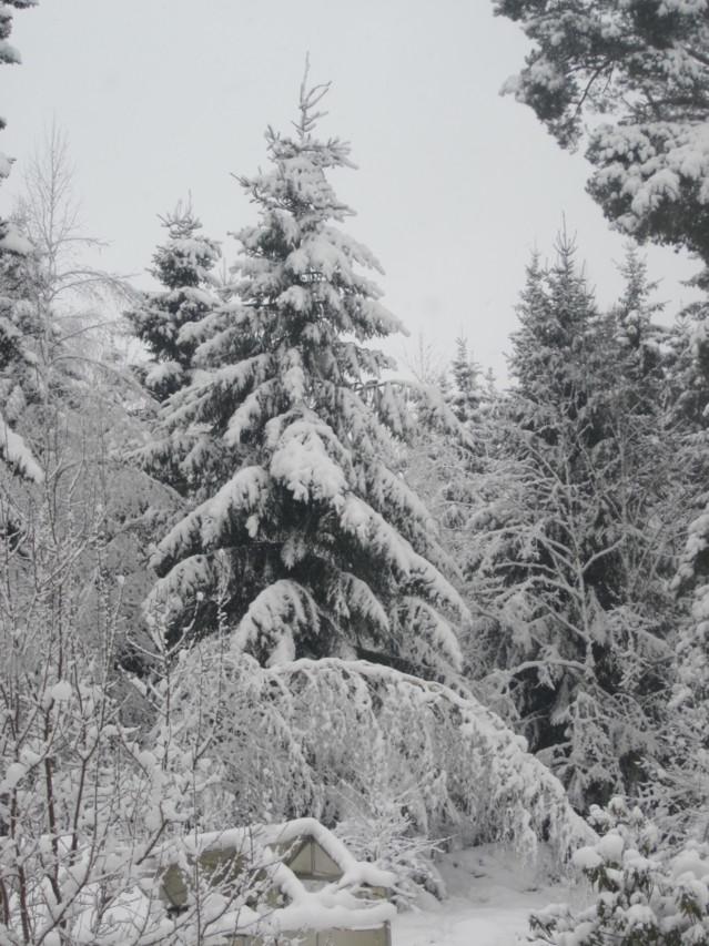Lumisia%20kuusia%20009.jpg