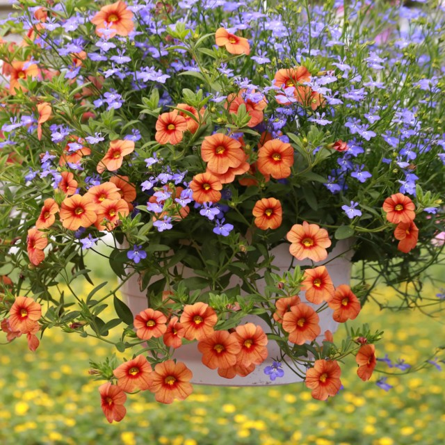 Kukka-amppeli.jpg