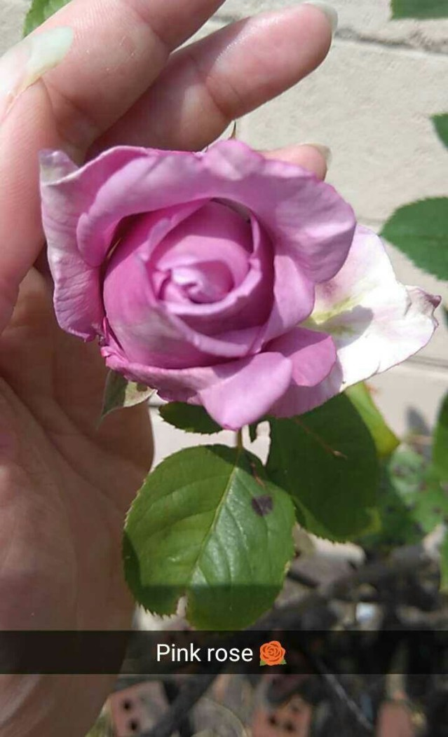 160605_99_rose.jpg