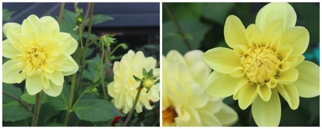 kukka%20daalia.jpg