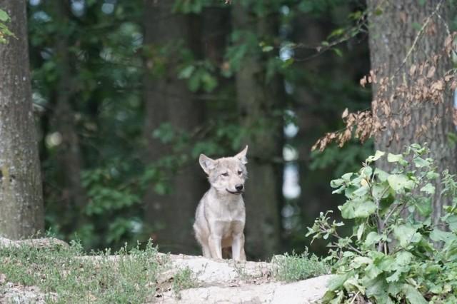 wolf-907682_960_720.jpg