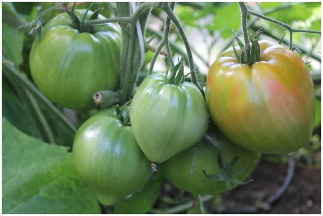 tomaatti6.jpg
