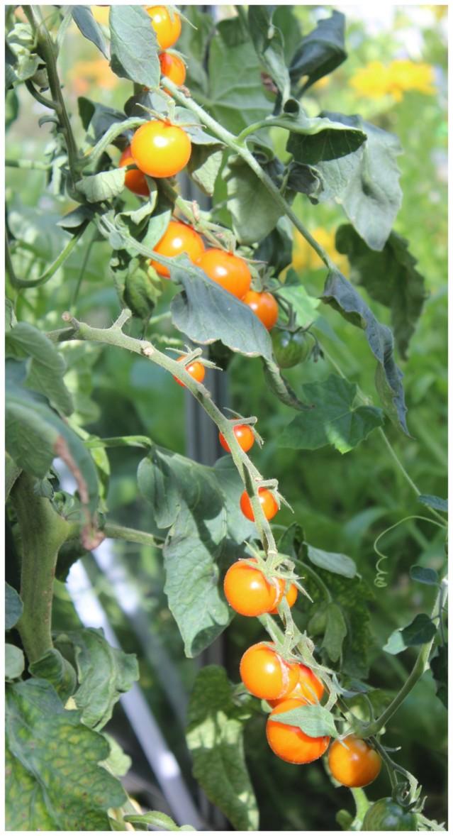 tomaatti4.jpg