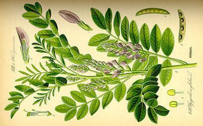 250px-Illustration_Glycyrrhiza_glabra0.j