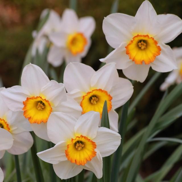 Narsisseja.jpg