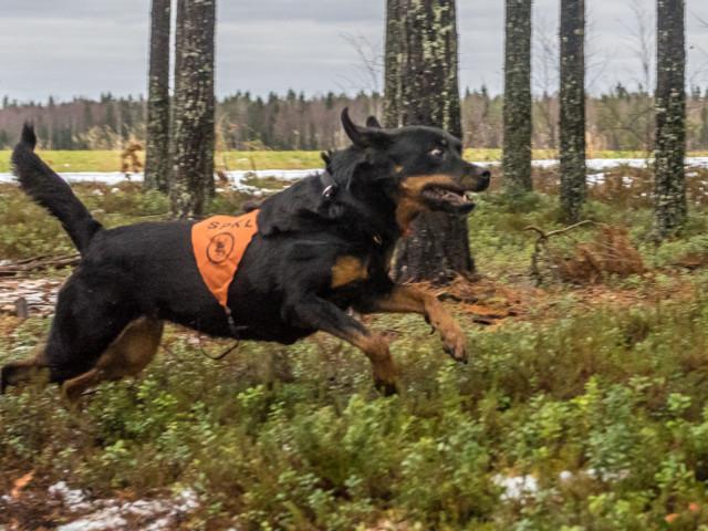 Rottweiler-5.jpg