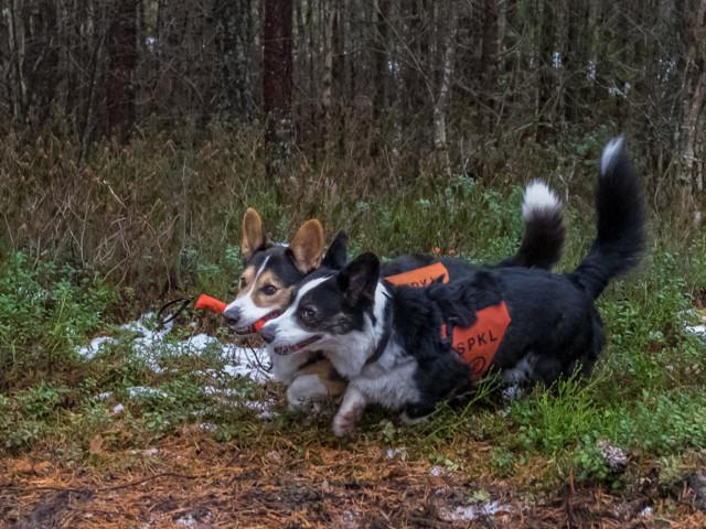 Rottweiler-15.jpg