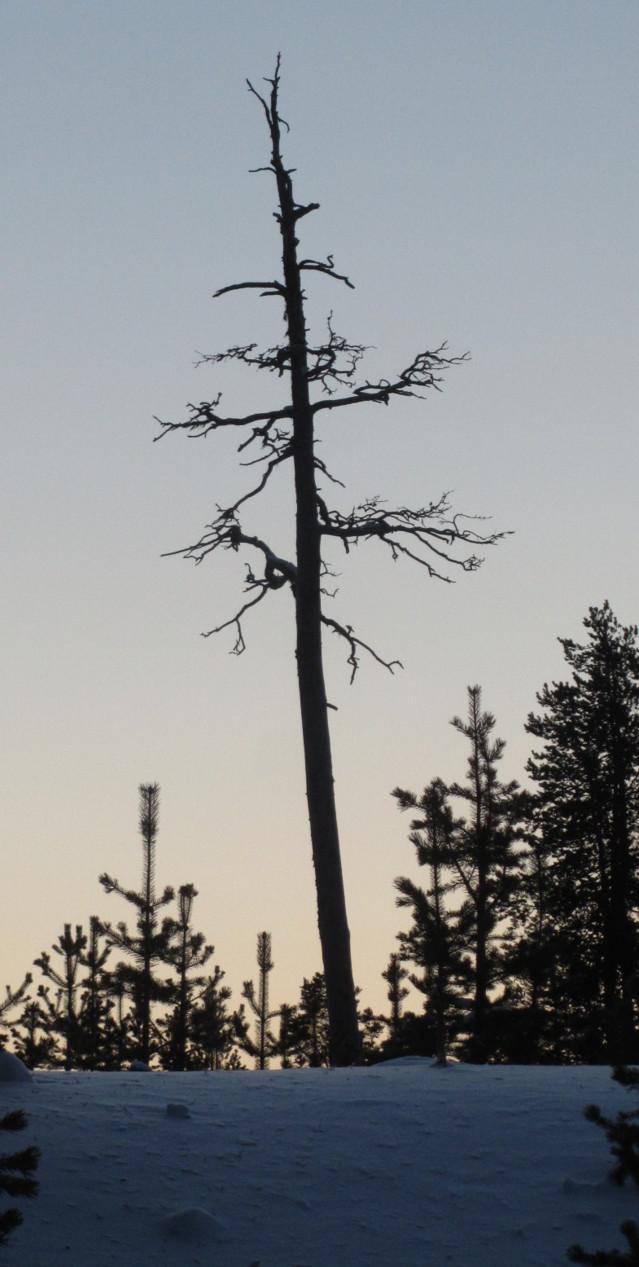 Majakkapuu.jpg