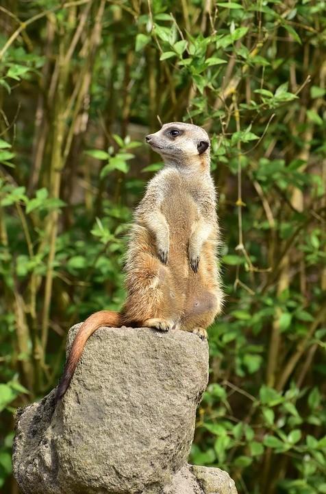 meerkat-763682_960_720.jpg