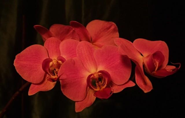 Orkideat%2030.1.-17%20019.jpg