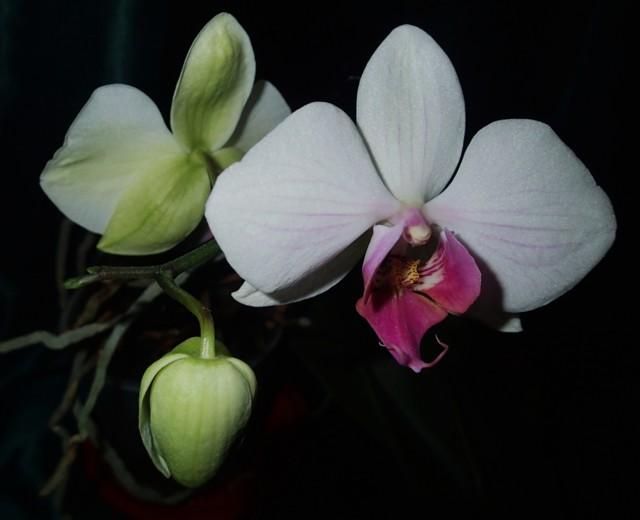 Orkideat%2030.1.-17%20042.jpg