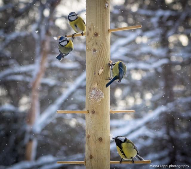Lintujen%20ruokapuu-9.jpg