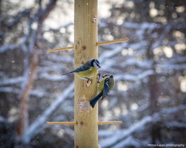 Lintujen%20ruokapuu-2.jpg