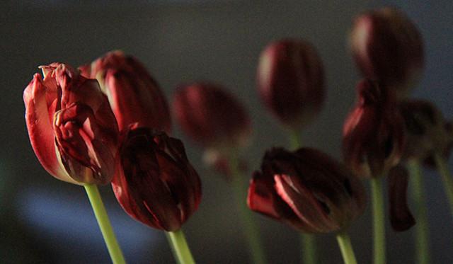 darkredtulips.jpg