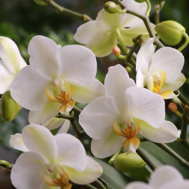 Orkidea%202.jpg
