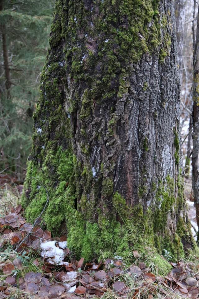 Sammalpuu2.jpg