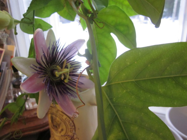 Passiflora%20005.jpg