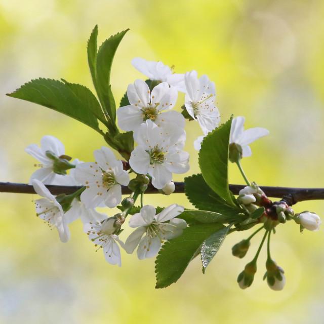Kirsikka%201.jpg