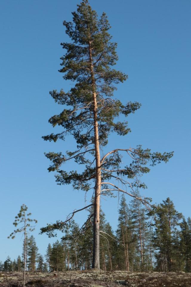 Maisemapuu.jpg