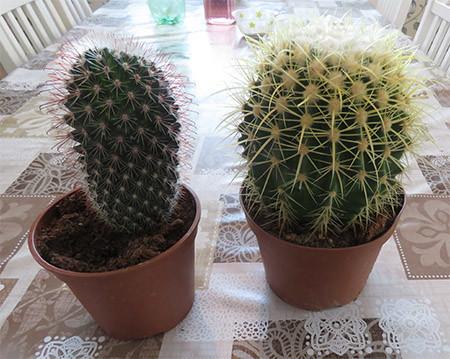 kaktusruukut.jpg