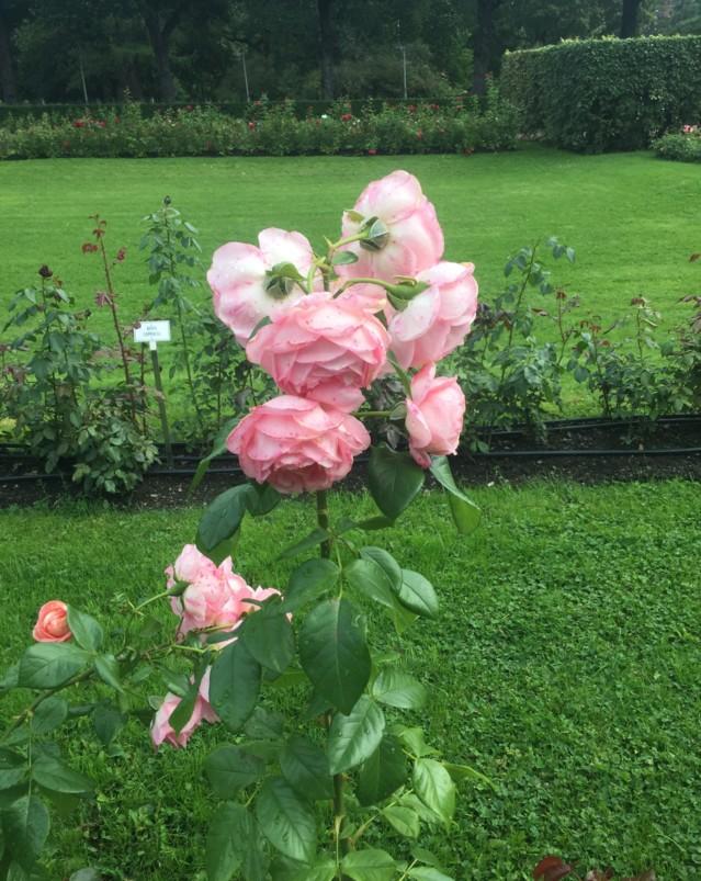 ruusunvarsi.jpg