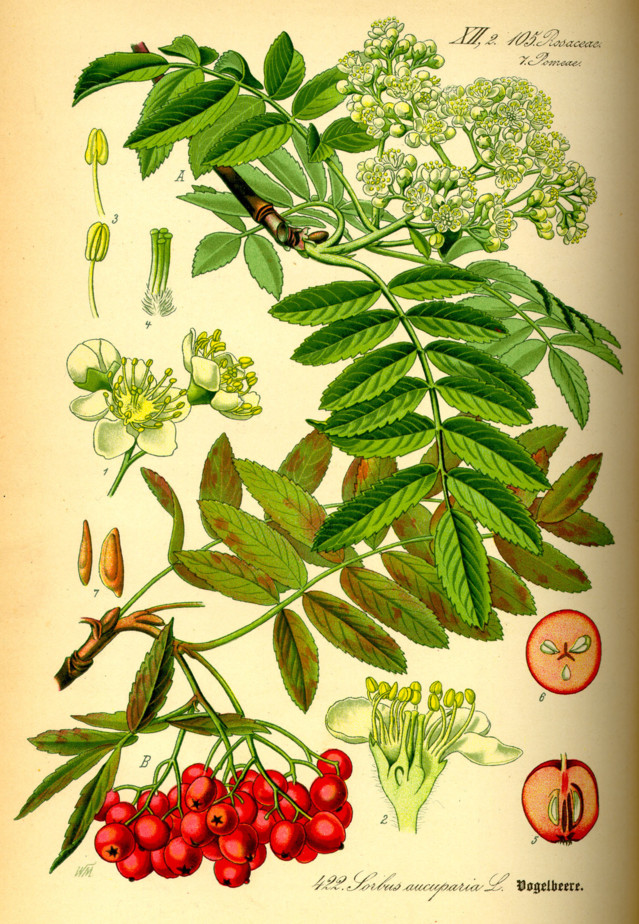 Illustration_Sorbus_aucuparia0.jpg