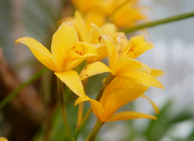 keltainenorkidea.jpg