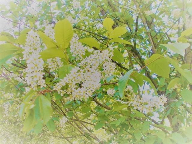 kukkivapuu1.jpg