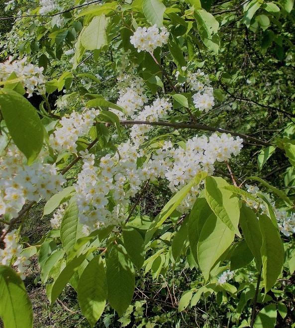 kukkivapuu.jpg
