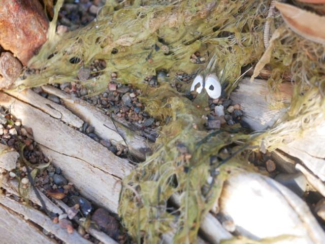 meriotus.jpg