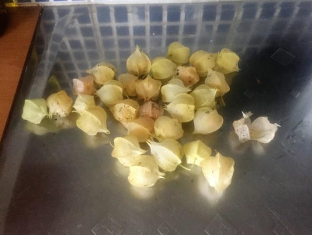 ananaskirskikat.jpg