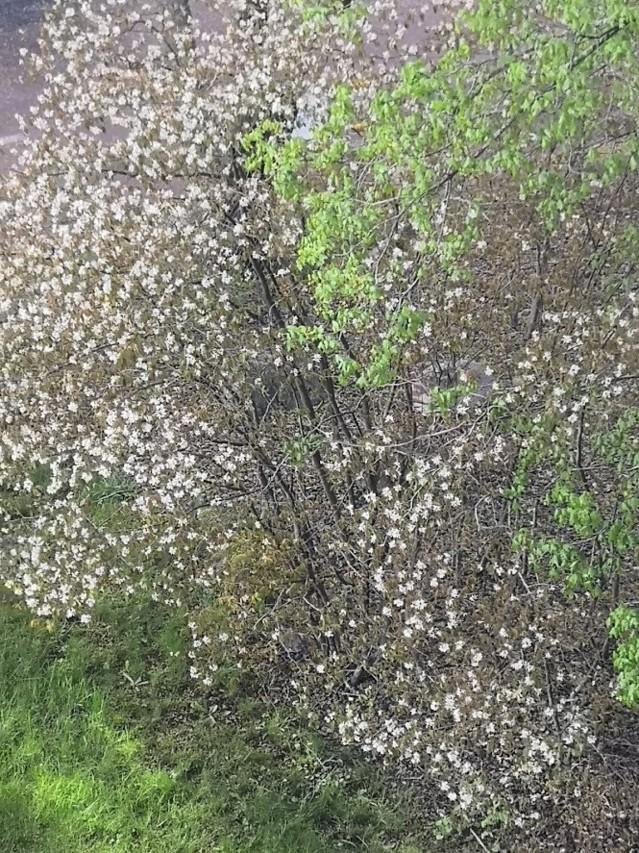 blommande.buske.2.jpg?1589519208