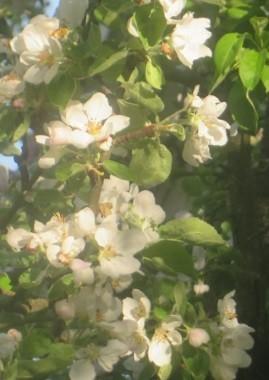 Omenapuuab.jpg