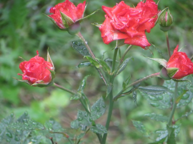 Ruusu%20a.jpg