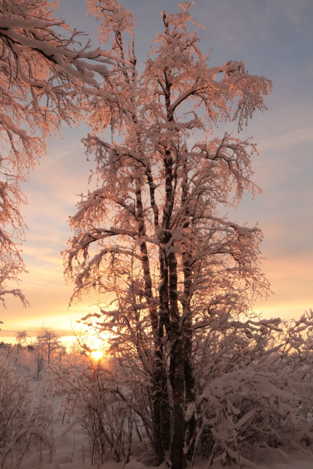 Kuurapuu.jpg