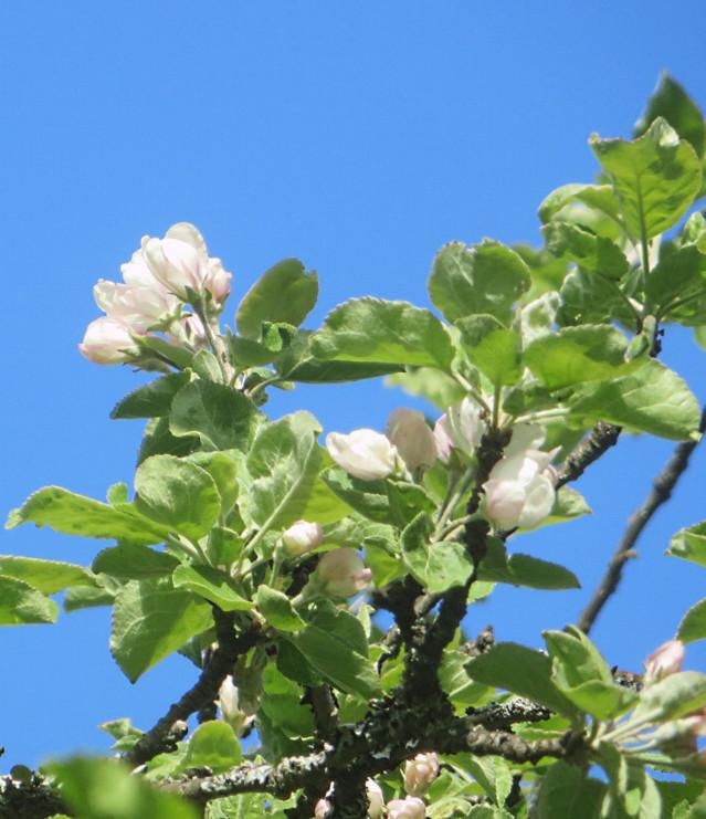 Omenapuun%20kukat%20toukokuun%20nupuista