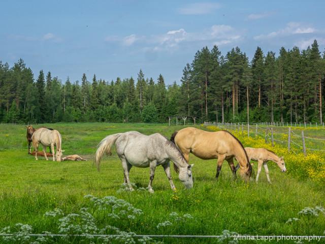 Hevosia%20katselemassa-2.jpg