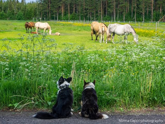 Hevosia%20katselemassa-3.jpg