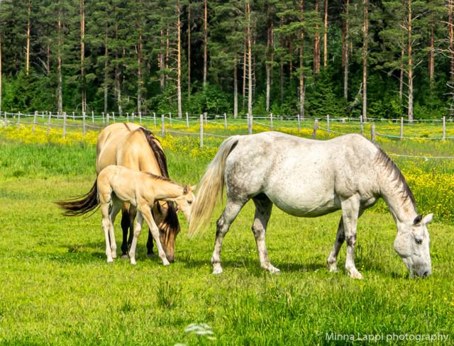 Hevosia%20katselemassa-4.jpg