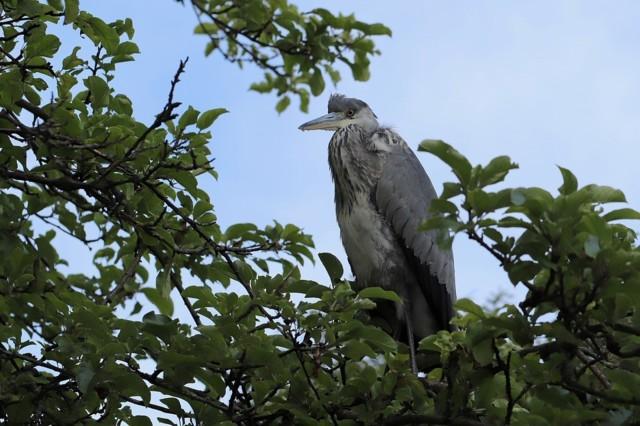 grey-heron-4412532_960_720.jpg