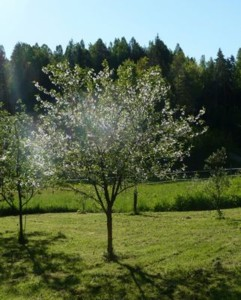 tn_kirsikkapuu.JPG