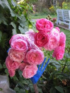 Ruusu ja sukkia 001.JPG